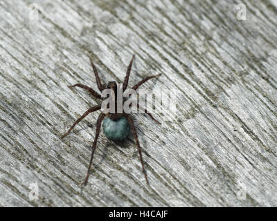Wolf spider (Pardosa sp.) egg sac. Blue silk sac containing eggs attached to spinarets of female spider in the family - Stock Photo