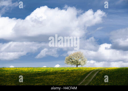 Germany, Bavaria, Augsburg, Western Woods Nature Park, meadow, spring, tree, blossoms, green, yellow, dandelion, - Stock Photo
