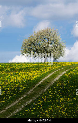 Germany, Bavaria, Augsburg, Western Woods Nature Park, meadow, spring, tree, blossoms, - Stock Photo