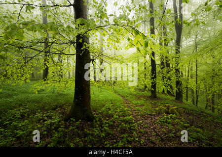 Germany, Bavaria, spring, Augsburg, Western Woods Nature Park, wood, beeches, beech forest, green, way, path, trunks, - Stock Photo