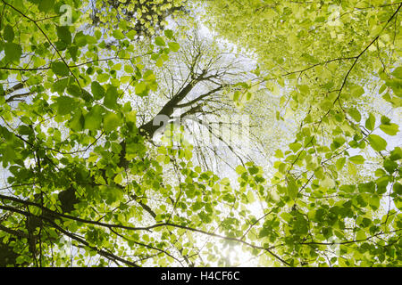 Germany, Bavaria, nature reserve, Augsburg, Western Woods Nature Park, beech, maple, deciduous forest, branch, sun, - Stock Photo