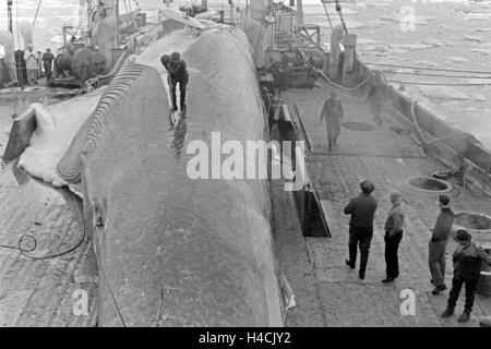 Die Männer eines Fabrikschiffs der deutschen Walfangflotte arbeiten sich durch den Kadaver eines Wals, 1930er Jahre. - Stock Photo