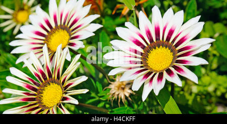 white daisies on a background of green leaves - Stock Photo