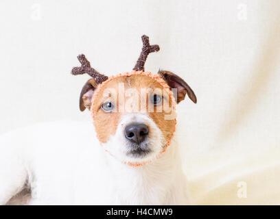 Christmas costume of reindeer – funny dog wearing antlers - Stock Photo