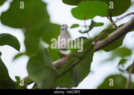 croaking ground dove, Columbina cruziana, branch, sit, looking into camera - Stock Photo