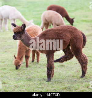 brown and white young alpaca graze in green dutch meadow - Stock Photo