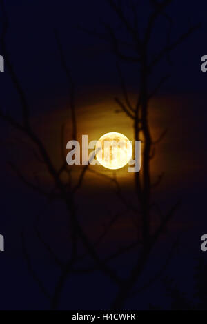 Full moon with Dunstschleider between branches - Stock Photo