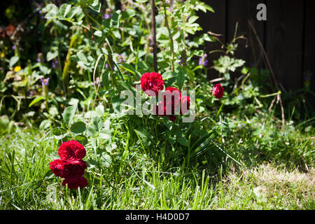 Red 'rambler rose' with blossoms - Stock Photo