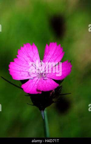 Dianthus carthusianorum, Carthusian Pink, growing in garigue, Spain. June. - Stock Photo