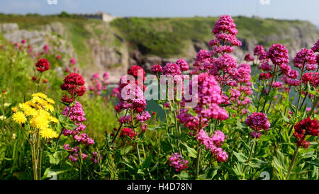 Red Valerian (Centranthus ruber) growing on the cliff-tops at Berry Head. - Stock Photo