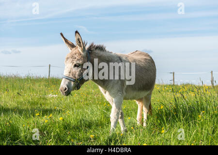 Weiten-Gesäß. Hessen, Germany, domestic donkey on pasture - Stock Photo