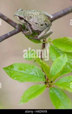 Italian tree frog (Hyla intermedia) - Stock Photo