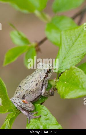 Italian tree frog (Hyla intermedia) - Stock Photo