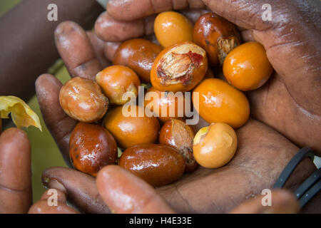 Women extract the shea nut from shea fruit in Burkina Faso, Africa. The nut is used for making shea butter and oil. - Stock Photo