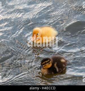 Two baby ducks duckling swimming in the water square - Stock Photo