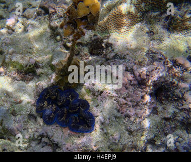 giant clam Tridacna gigas in Asia - Stock Photo