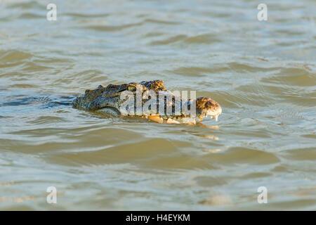 Nile crocodile (Crocodylus niloticus), Lake Baringo, Kenya, East Africa - Stock Photo