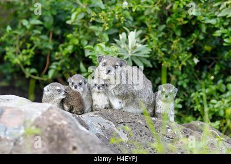 Cape hyrax (Procavia capensis), dam sitting with cubs on rock, Masai Mara, Narok County, Kenya - Stock Photo