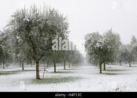 olive grove in the snowy storm in winter - Stock Photo