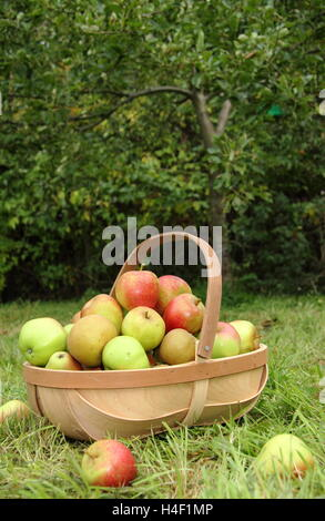 Freshly harvested apples (malus domestica) in a trug by an apple tree in an English heritage orchard on a fine autumn - Stock Photo