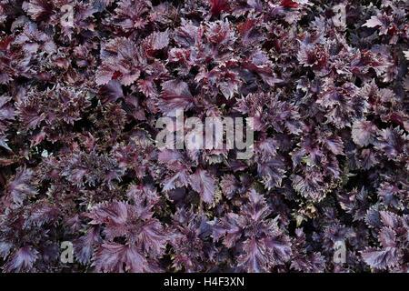 Purple Japanese perilla full frame - Stock Photo