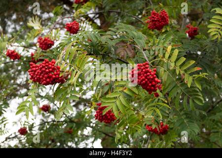 European Rowan, Sorbus aucuparia, with red fruit - Stock Photo