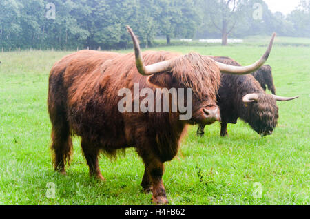 Highland cattle in Germany - Stock Photo