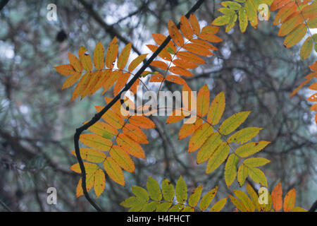 Colourful autumn leaves against pine trees in Surrey, England - Stock Photo
