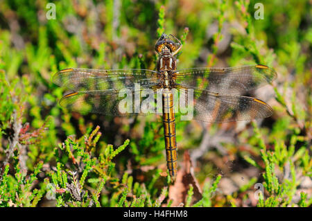 Female keeled skimmer dragonfly at rest - Stock Photo