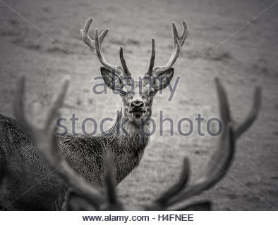 Red deer stag portrait monochrome - Stock Photo