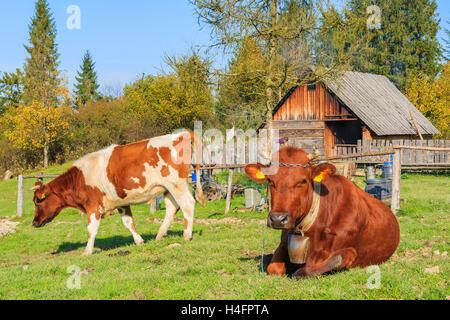Brown cows on green field in autumn season in Pieniny Mountains near Szczawnica, Poland - Stock Photo