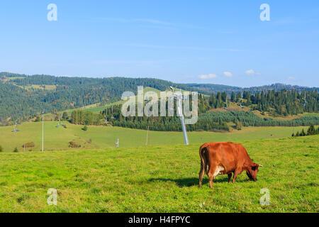 Cow grazing on green field near ski lift in Pieniny Mountains, Poland - Stock Photo