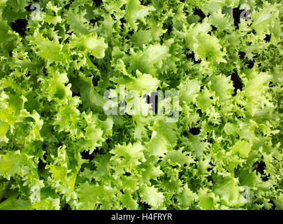 Curly endive green plant ready for transplanting, farm inspired