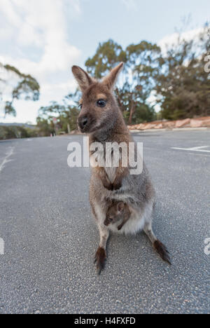 Bennet's wallaby with joey in the pouch portrait. Tasmania, Australia. - Stock Photo