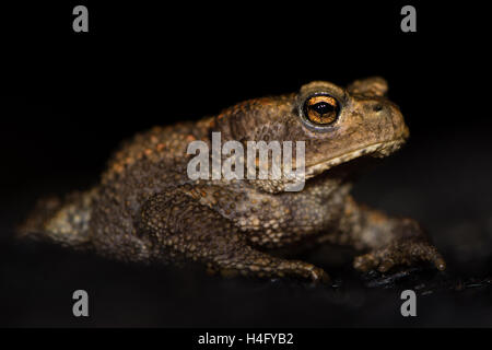 Juvenile common toad (Bufo bufo) against black background. Familiar amphibian at night on burnt wood, with bright - Stock Photo