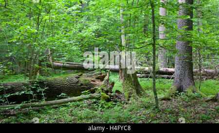 Old trees of natural stand in summer with broken oak tree in foreground, Bialowieza Forest, Poland, Europe - Stock Photo