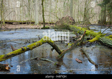 Spring landscape of old forest and broken trees lying in water,Bialowieza forest,Poland,Europe - Stock Photo