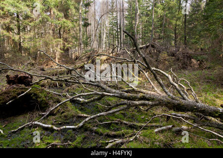 Broken birch tree lying in spring, Bialowieza Forest, Poland, Europe - Stock Photo