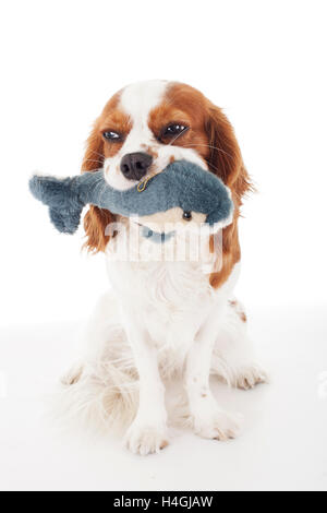 Trained cavalier king charles spaniel studio white background photography. Dog with soft plush dolphin toy play - Stock Photo