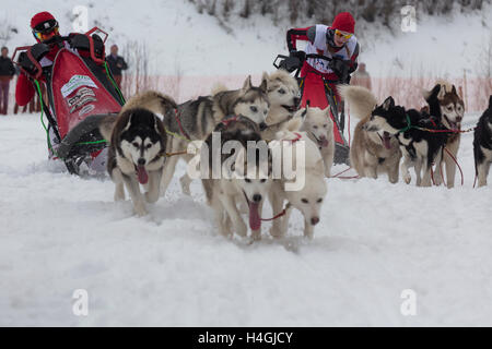 Sportsman during the sled dog race 'Suzdal Field' in the city of Suzdal, Vladimir region, Russia - Stock Photo