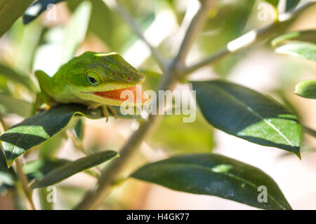 green chameleon lizard with open mouth stock photo
