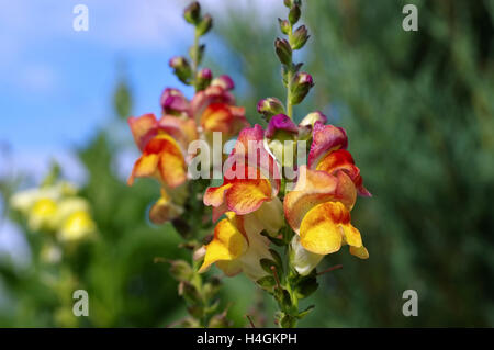 Löwenmaul Blumen im Sommergarten - snapdragon flower in summer garden - Stock Photo