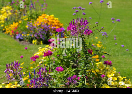 Spinnenblume, Cleome spinosa - Spider flower or spider plant, Cleome spinosa - Stock Photo