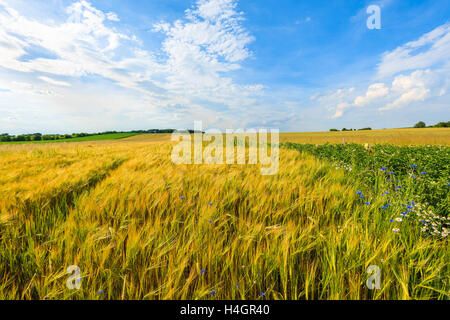 Beautiful golden color wheat field with white clouds on blue sky in summer landscape near Krakow, Poland - Stock Photo