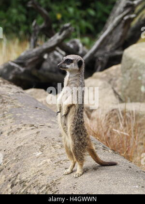 Meerkat standing on watch in wildlife reserve - Stock Photo