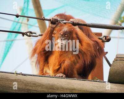 Orangutan mother cares for her baby in wildlife reserve - Stock Photo