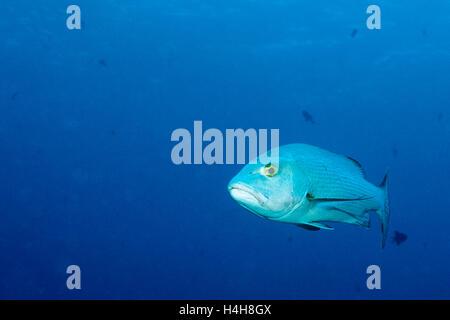 Two-spot red snapper (Lutjanus bohar), Blue Corner, Palau, Micronesia, Pacific - Stock Photo