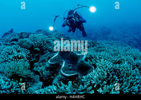 Diver and Fluted giant clam (Tridacna squamosa), Palau, Micronesia, Pacific - Stock Photo