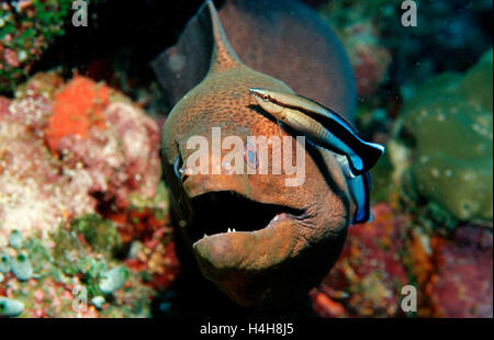 Bluestreak Cleaner Wrasse (Labroides dimidiatus) cleaning a Yellow-edged Moray (Gymnothorax flavimarginatus), Maldive - Stock Photo