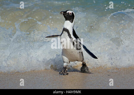 An African penguin (Spheniscus demersus) running on beach, Western Cape, South Africa - Stock Photo
